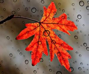 Rainy Maple Leaf